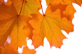 Autumn maple leaves isolated — Stock Photo