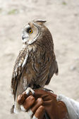 Long-eared owl on hand — Stock Photo