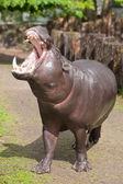 Pygmé flodhäst — Stockfoto