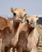Single hump dromedary Camels — Stock Photo