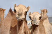Single hump dromedary Camels — Foto de Stock