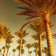 Palm forest at sunset — Stock Photo