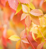Autumn leaves on abstract blurred background (shallow DoF) — Stock Photo