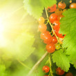 Red currant berries - Stock Photo