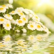 Camomile flowers reflected in water — Foto Stock