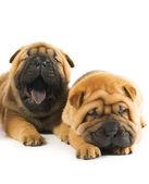 Two beautiful sharpei puppies — Stock Photo