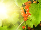 Red currant berries — Stock Photo