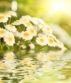 Camomile flowers reflected in water — Stock Photo