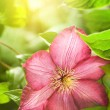 Clematis flower — Foto Stock