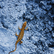 Small yellow lizard on a blue rock - Stock Photo