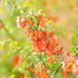 Cydonia flowers (shallow DoF) — Stock Photo