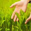 Human hands touching green grass — Stock Photo