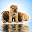 Group of adorable sharpei puppies near the water - Stock Photo