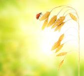 Ladybug sitting on a wheat herb — Stock Photo