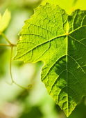 Wild grape leaf — Stock Photo
