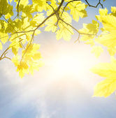 Golden leaves at sunny day — Stock Photo