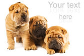Group of three beautiful sharpei puppies isolated on white backg — Zdjęcie stockowe