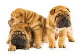 Group of three beautiful sharpei puppies isolated on white backg — Stock Photo
