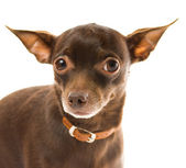 Toy terrier isolated on white background — Stock Photo