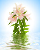 Lily flower reflected in rendered water — Stock Photo