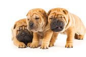 Beautiful sharpei puppies isolated on white background — Stock Photo