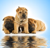 Group of adorable sharpei puppies near the water — Stock Photo