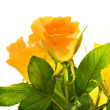 Bouquet of yellow roses isolated on white background — Stock Photo #4839763