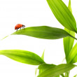 Ladybird sitting on a bamboo leaves — Stock Photo