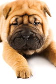 Funny sharpei puppy isolated on white background — Stock Photo