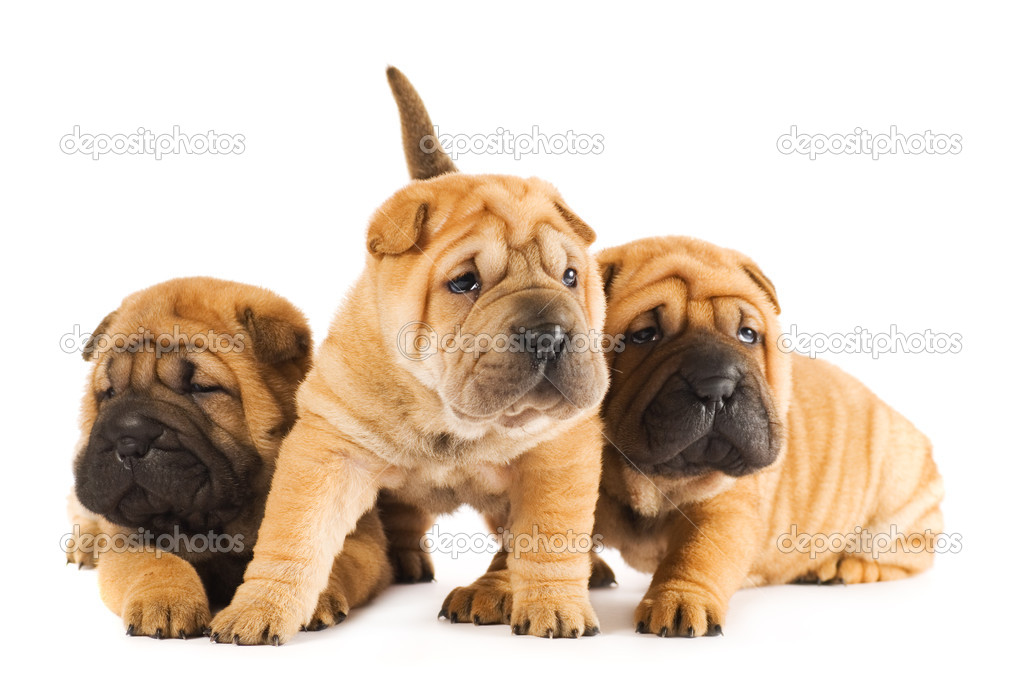 Group of sharpei puppies isolated on white background (studio shot) — Stock Photo #4839677