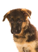 German shepherd puppy isolated on white background — Stock Photo