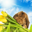 Easter bunny with yellow tulips hiding in green grass — Stock Photo #4902924