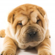 Funny sharpei puppy isolated on white background — Stock Photo #4903008