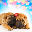 Stock Photo: Two sharpei puppies in love
