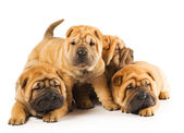 Group of beautiful sharpei puppies isolated on white background — Stock Photo