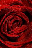 Wet rose close-up shot (shallow DoF) — Stock Photo