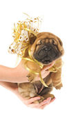 Human hadns holding beautiful sharpei puppie with golden bow iso — Stock Photo