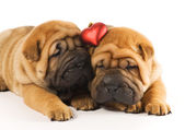 Two sharpei puppies in love — Стоковое фото