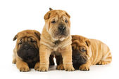 Group of sharpei puppies isolated on white background (studio sh — Stock Photo