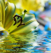 Yellow lilly reflected in rendered water — Stock Photo