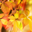 Autumn leaves on abstract blurred background (very shallow DoF, — Stock Photo #4959890