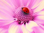 Small ladybug sleeping on flower's petals — Stock Photo