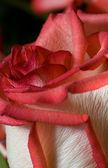 Red rose close-up shot — Stock Photo