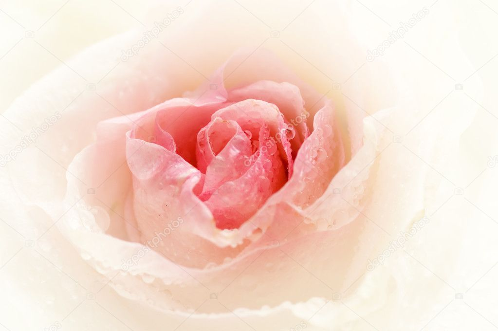 Close-up shot of a rose bud with water drops on petals  Stock Photo #4959672