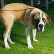 Beautiful St. Bernard dog on a green grass - Stock Photo