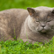 Stock Photo: Beautiful sleeping british cat