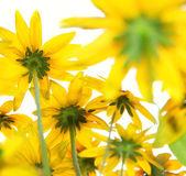 желтые цветы на белом фоне — Стоковое фото