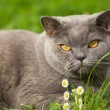 Charming british cat lying on a green grass — Stock Photo