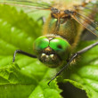 Dragonfly on a leaf — Stock Photo