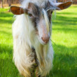 Funny goat - Stock Photo
